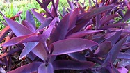 Tradescantia pallida - Wandering Jew - Purple Heart ...