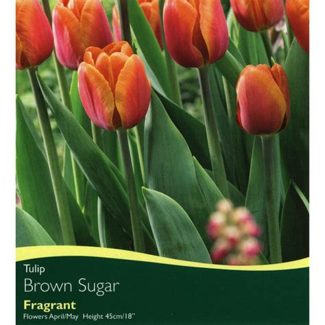 bulbs tulip brown sugar bulbs for sale mail order