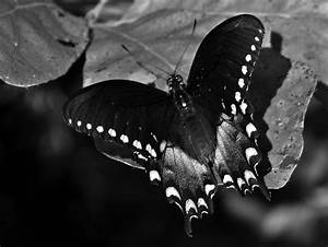 Black and White Butterfly by globeseeker on DeviantArt
