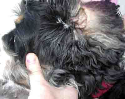 dog ear infection symptoms  treatment