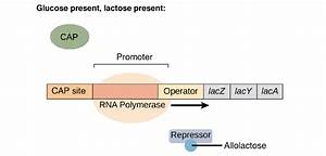 Operon System And Lac Operon In E  Coli
