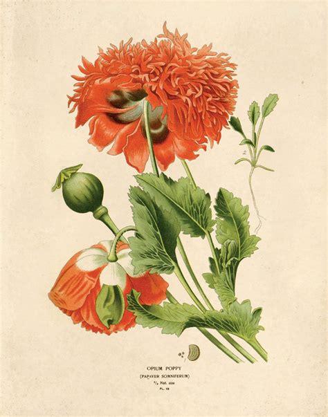 Vintage Poppy Flower Print Red Opium Wildflower