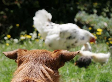 empecher un chien de monter sur le canap comment empêcher un chien d 39 attaquer les poules