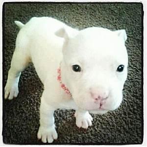 White Baby Pitbull | Adorable Animals | Pinterest