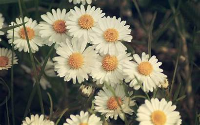 Daisy Desktop Wallpapers Backgrounds Daisies Flowers Pixelstalk