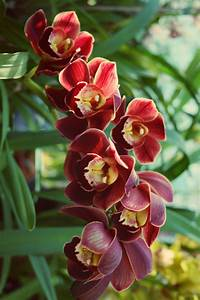 Image Gallery red orchids