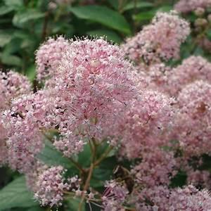 Arbuste À Feuillage Persistant : best 20 arbuste feuillage persistant ideas on pinterest ~ Melissatoandfro.com Idées de Décoration