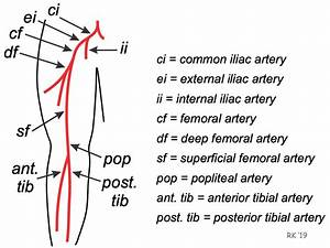 34 Arteries Of The Leg Diagram