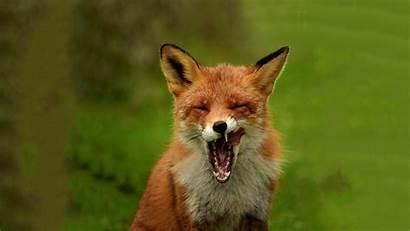 Fox Animal Background
