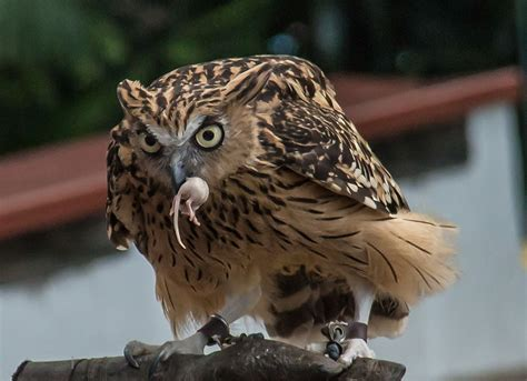 owl images pics danger hunting full hd pictures gallery