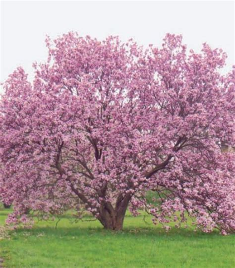 where to plant magnolia tree growing the beautiful magnolia tree quarto homes