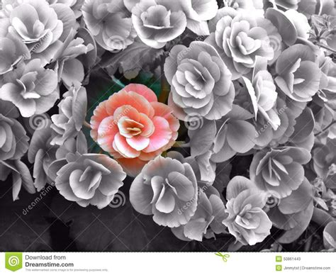 colored white out flower among greyscale flowers stock photo image