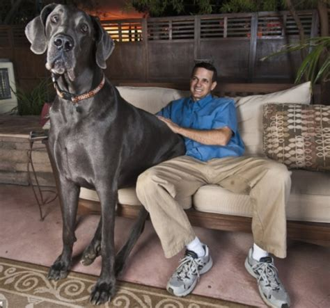 Largest Pumpkin Ever Weight by World Of Wallpapers Biggest Dog In The World