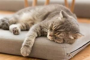 Coussin Pour Dormir : coussin chat choix et prix d 39 un coussin pour chat ooreka ~ Melissatoandfro.com Idées de Décoration