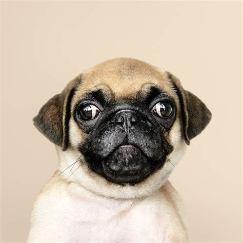 love papers oc animal dog pug cute nature