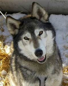 Siberian Husky - Wolf-dog Education...