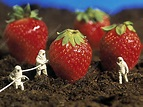 Concept of genetically engineered strawberries - Stock ...
