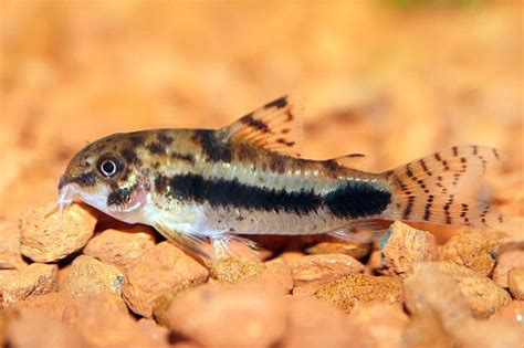 corydoras habrosus poissons exotiques vente magasin uniquement nano aquarium poissons