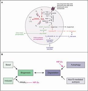 A  The Major Metabolic Pathways In Peroxisomes Of The