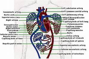15 3a  Anatomy Of Human Circulatory System