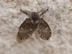 Kleine Mücken In Der Blumenerde : abortfliege sch dlingsratgeber biozid portal ~ Lizthompson.info Haus und Dekorationen