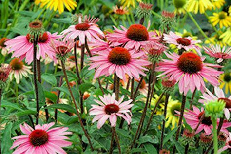 echinacea merlot premier plant solutions