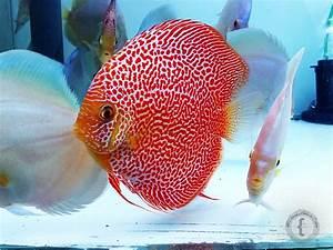 File:Biotópica, breeding discus fish Penang Eruption.jpg ...
