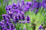 Lavender Flower Meaning