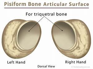 Pisiform Bone Definition  Location  Anatomy  Functions   U0026 Diagram