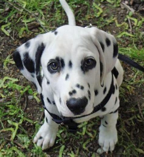 cute dalmatian images  pinterest dalmatians