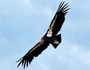 For The First Time In Decades  More California Condors