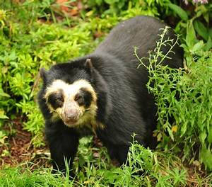 Spectacled Bear - Formally occured north to Florida and ...