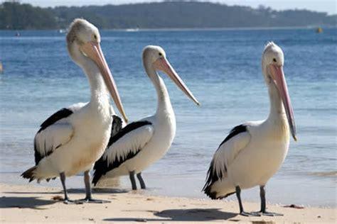 le de poche pelican le pelican l etoile