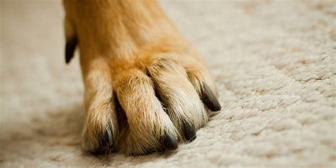 6 conseils pour prendre soin des pattes de chien entretenir chien wamiz