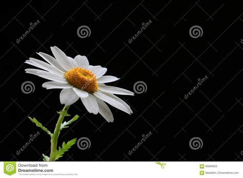 fiore giapponese fiore giapponese polo nord sul nero 2 immagine stock