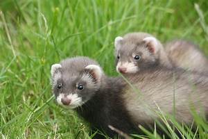 Baby ferret photos | Letters From A Lodge Cook