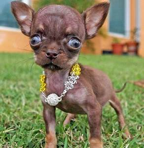 Smallest Dog In The World 2013 - Dog : Pet Photos Gallery# ...