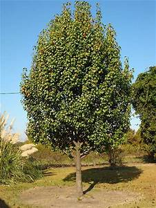 Cheap Tricks and Costly Truths: My Pear Tree Has No Partridge