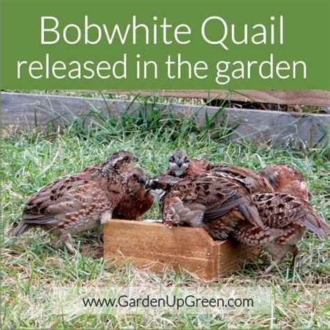 Quail Garden by Bobwhite Quail Garden Release Horticulture