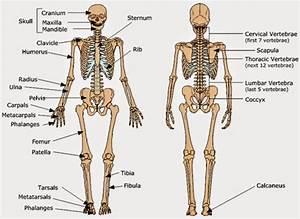 Environmental Health Student Blog  Basic Skeletal System