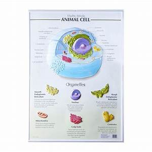 Images Of Animal Cell  U2014 Animwall Com