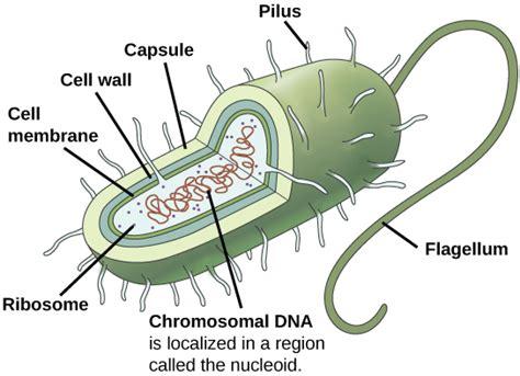 Structure Prokaryotes Boundless Biology