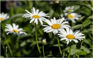 BEAUTIFUL WHITE DAISY FLOWERS HD WALLPAPER | 9 HD Wallpapers