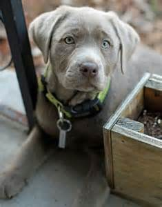 Cute Silver Lab Puppies