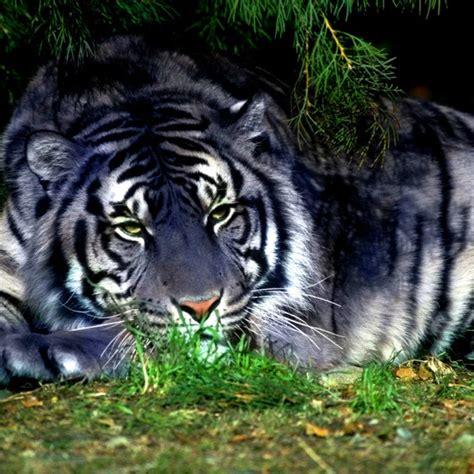 Black Tiger Melanistic Aww Pinterest