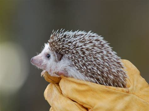 The Online Zoo - Domestic Hedgehog