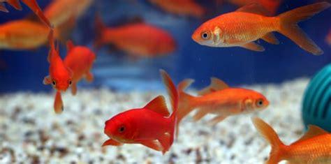 goldfish care benefits  reasons  goldfish  good
