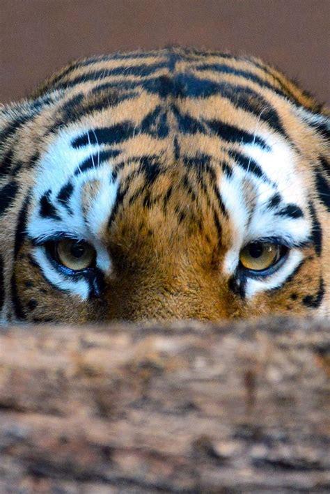 Best Images About Wildcats Pinterest Leopards
