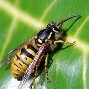 Bienen Und Wespen : panische angst vor wespen und bienen typisch schwedisch nr 86 hej sweden ~ Whattoseeinmadrid.com Haus und Dekorationen