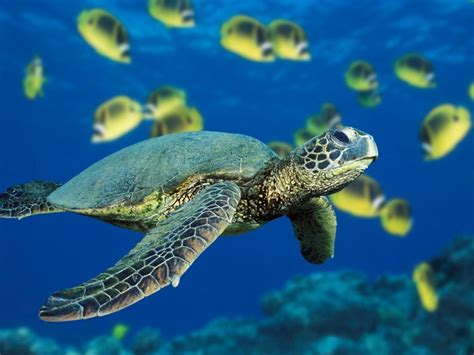 Total Wallpapers Green Sea Turtle Wallpapers Sea